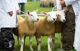 Three Sheep at Royal Three Counties Show.jpg