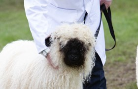 Valais Blacknose Sheep at Royal Three Counties Show.jpg